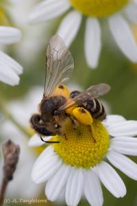02- Abeille pollinifère
