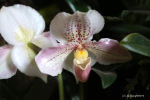 16- orchidée