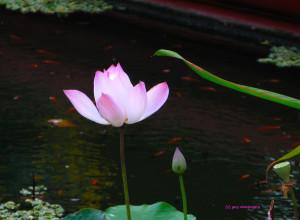 24- les vies du lotus - CAMBODGE cip 15