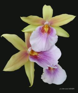 35- orchidées