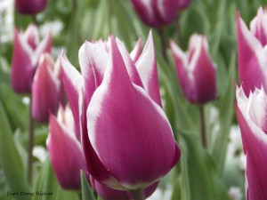 40- tulipes