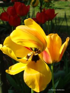 41- Tulipes 1