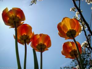 42- Tulipes