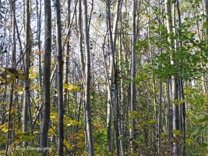 15- arbres Chenu