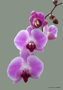 04- orchidées 2