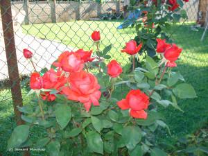 06- O ma rose