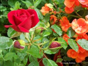08- Allons voir si la rose...