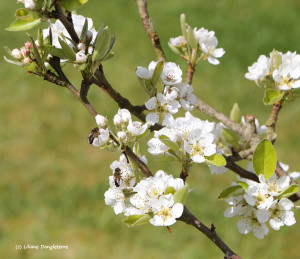 13- butiner des fleurs de poirier