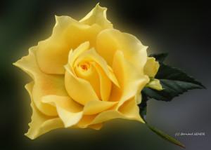 46- rose d'or