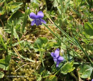 50-violettes sauvages