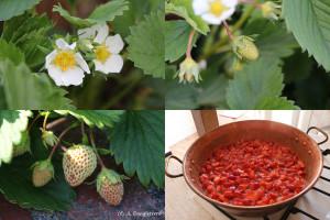 51- vie de fraise
