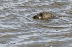 26- Phoque en baie de Somme