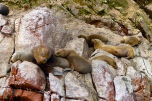 33- sieste de lions de mer