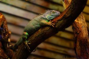 50- Iguane