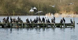 54- cormorans de nos marais