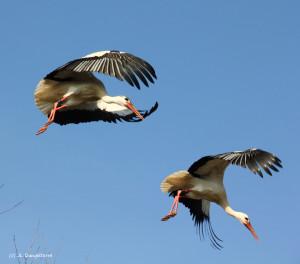 69- le vol de la cigogne