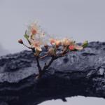 41- Prunus fleuri